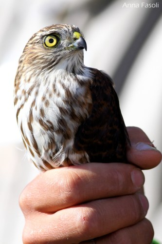 Sharp-shinned Hawk - juvenile (photo by Anna Fasoli)