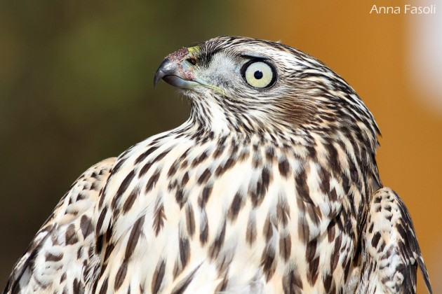 Northern Goshawk -juvenile (photo by Anna Fasoli)