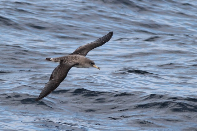 Cory's Shearwater - Calonectris diomedea borealis (Photo by Alex Lamoreaux)