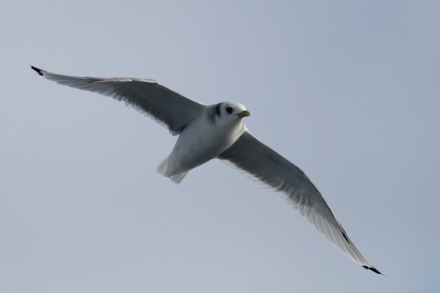 The closest Black-legged Kittiwake to pass the boat - adult (Photo by Alex Lamoreaux)