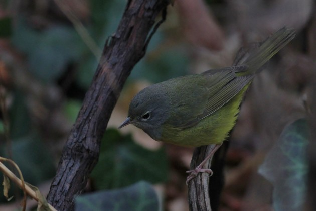 MacGillivray's Warbler on November 27th (Photo by Alex Lamoreaux)