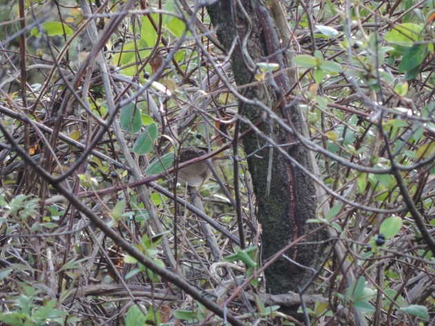 mystery wren
