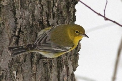 Pine Warbler overwintering in a backyard (Photo by Alex Lamoreaux)