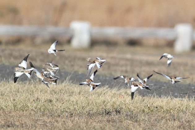 Some of the 18 Snow Buntings Clay-colored Sparrow - Hammonasset Beach SP (Photo by Alex Lamoreaux)