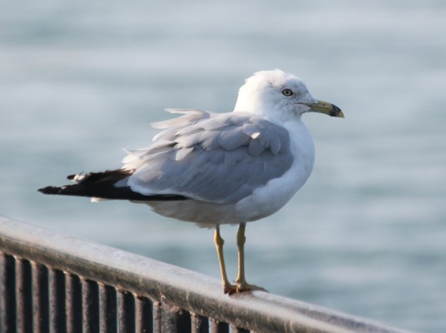 Look at that gull, so smug, doing all it can to not be a snowy owl...(photo by Steve Brenner)