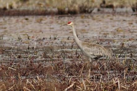 Sandhill Crane at Curtin Wetlands, Centre County (Photo by Alex Lamoreaux)
