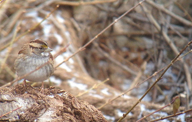 White-throated Sparrow - Tim Schreckengost