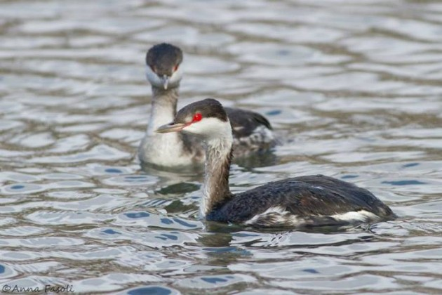 Two Horned Grebes after being released from rehab (Photo by Anna Fasoli)