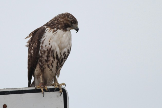 Red-tailed Hawk - immature (Photo by Alex Lamoreaux)