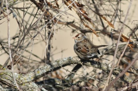 White-crowned Sparrow - immature (Photo by Alex Lamoreaux)