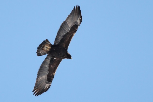 Golden Eagle - adult soaring over Williams Rd, Centre County, PA (Photo by Alex Lamoreaux)