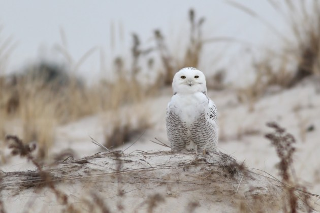 This Snowy Owl was roosting in the dunes at Jones Beach on Long Island (eBird checklist). We were also able to see him the next morning. (Photo by Alex Lamoreaux)