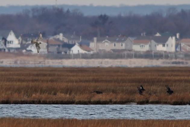 Gyrfalcon diving towards some American Black Ducks (Photo by Alex Lamoreaux)