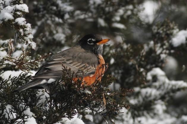 American Robin feeding in a cedar. (Photo by Alex Lamoreaux)