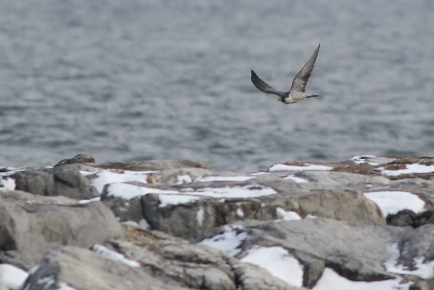 Barnegat usually comes through with a nice Peregrine show, and on Monday we had this adult male Peregrine Falcon flying along the jetty (Photo by Alex Lamoreaux)