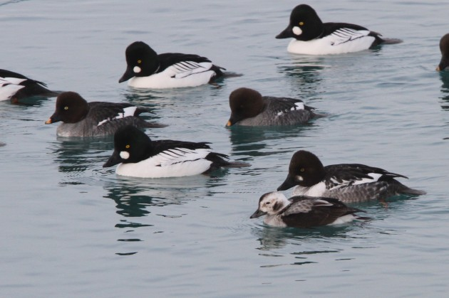 Long-tailed Duck with Common Goldeneyes (Photo by Nathan Goldberg)