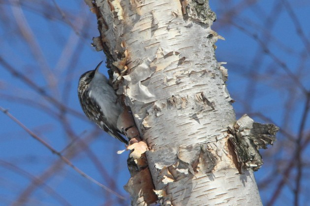 Brown Creeper (Photo by Nathan Goldberg)