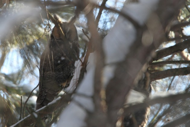 The first and third Long-eared Owls (Photo by Nathan Goldberg)