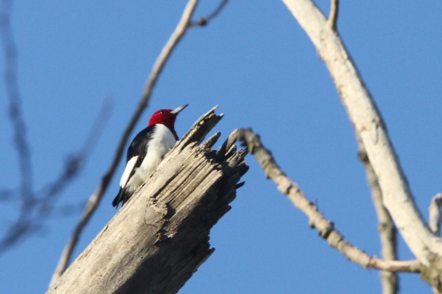 Red-headed Woodpecker (Photo by Nathan Goldberg)