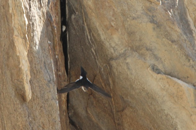 White-throated Swifts at nests (Photo by Nathan Goldberg)