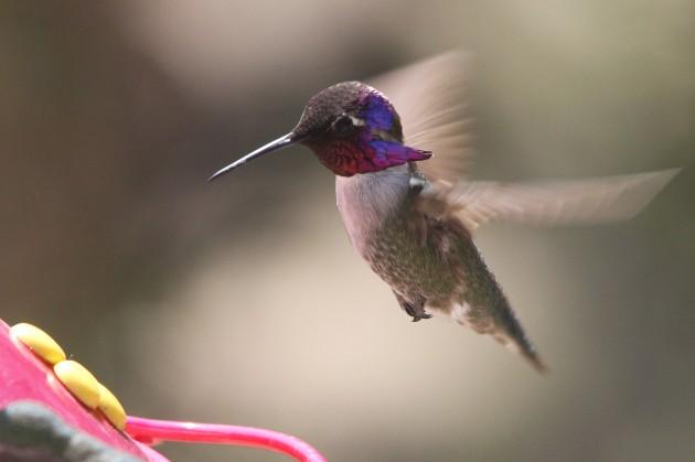 Adult male Costa's Hummingbird (Photo by Nathan Goldberg)