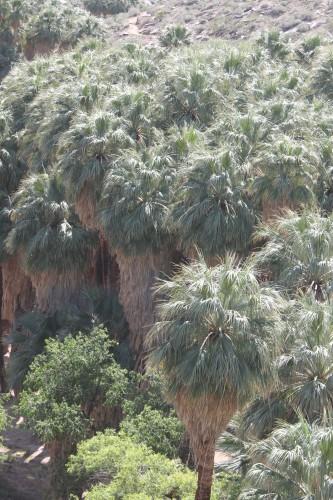 California Fan Palm -- Washingtonia filifera (Photo by Nathan Goldberg)