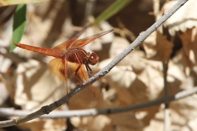 Flame Skimmer -- Libellula saturata (Photo by Nathan Goldberg)