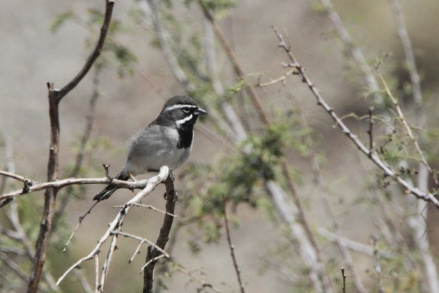 Black-throated Sparrow (Photo by Nathan Goldberg)