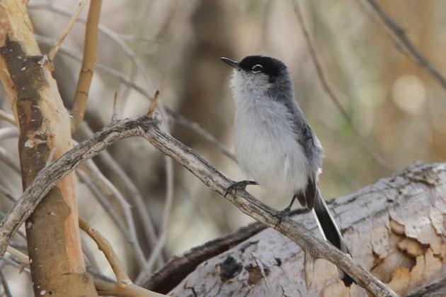 Black-tailed Gnatcatcher (Photo by Nathan Goldberg)