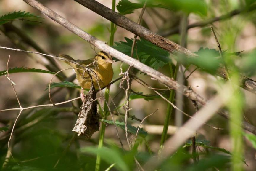 Worm-eating Warbler - Anna Fasoli