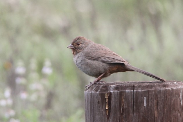 California Towhee (Photo by Nathan Goldberg)