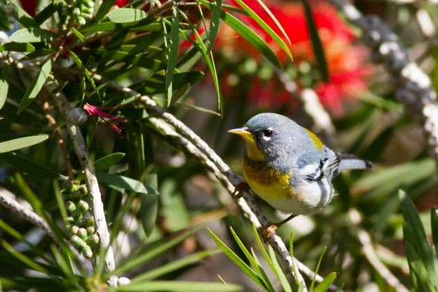 Northern Parula, South Padre Island (Tiffany Kersten)