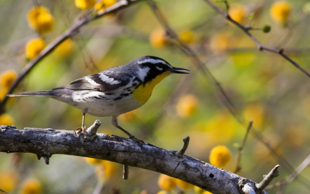 Yellow-throated Warbler, South Padre Island (Tiffany Kersten)
