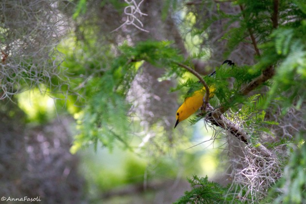 Prothonotary Warbler - male; stalking insects in Spanish moss