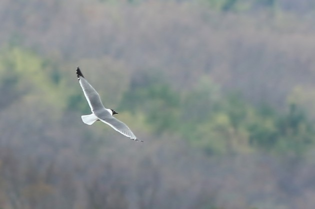 Franklin's Gull at Bald Eagle SP (Photo by Alex Lamoreaux)