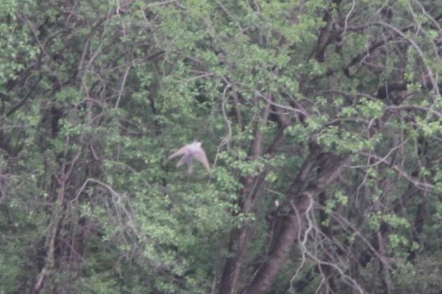 Fork-tailed Flycatcher (Photo by Nathan Goldberg)
