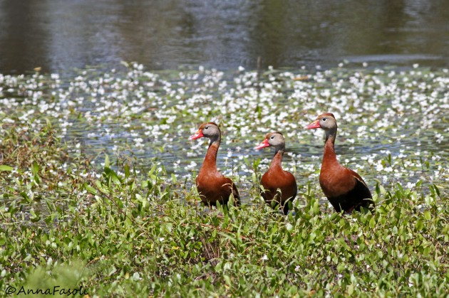 Flock of Black-bellied Whistling-Ducks (Anna Fasoli)