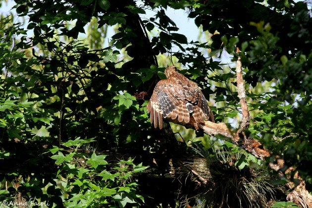 Juvenile Red-shouldered Hawk molting into adult plumage