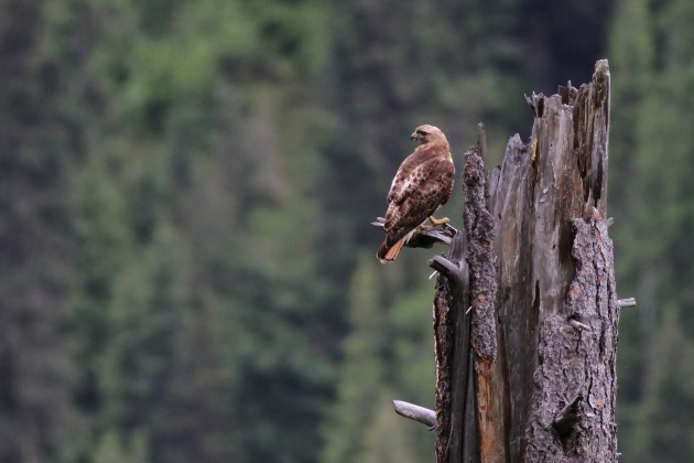 Red-tailed Hawk near Pierce, Idaho (Photo by Alex Lamoreaux)