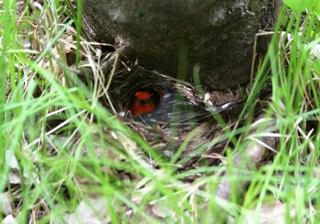 Red-faced Warbler female on her nest - AZ, 2014 (photo by Steve Brenner)