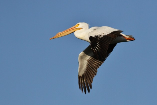 American White Pelican at Market Lake WMA (Photo by Alex Lamoreaux)