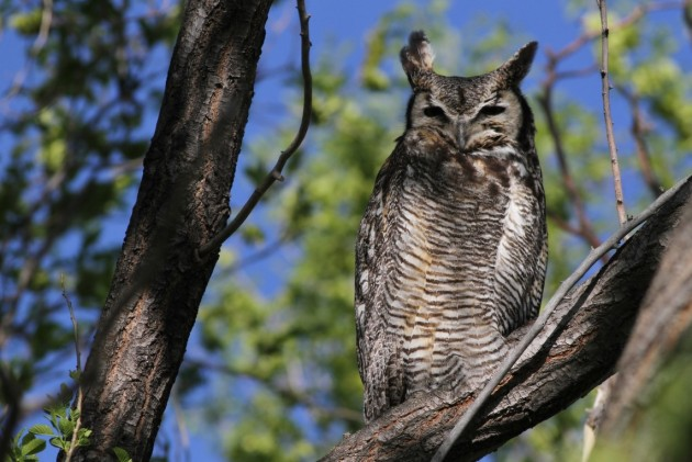Great Horned Owl at Market Lake WMA (Photo by Alex Lamoreaux)