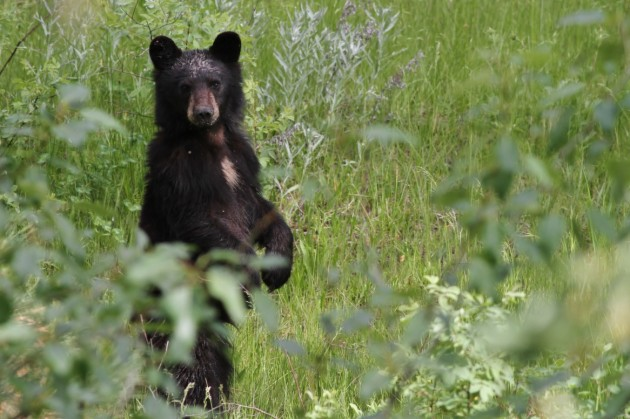A young American Black Bear checking me out during one of my point counts! (Photo by Alex Lamoreaux)