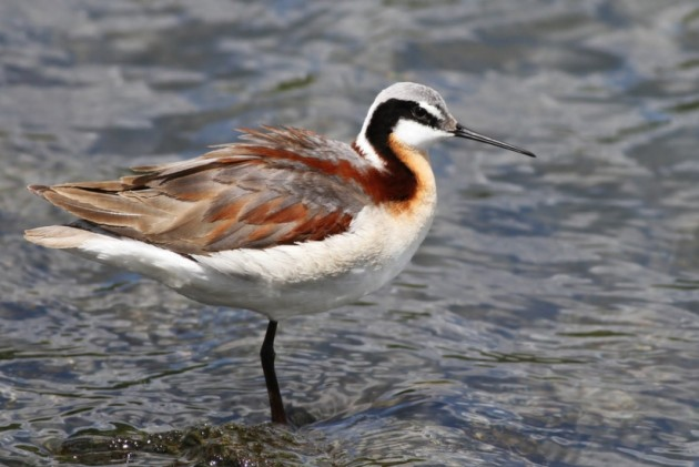 Female Wilson's Phalarope posing for me near New Meadows, Idaho (Photo by Alex Lamoreaux)