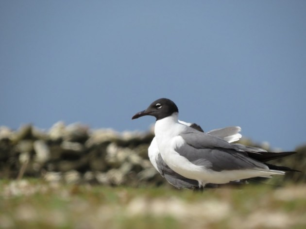 Laughing Gulls at Baby Beach, Aruba on 29 June 2014. Photo by Tim Schreckengost.