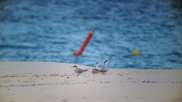 Common Terns at Eagle Beach, Aruba on 28 June 2014. Digiscoped with an iPhone 5 + Vortex Razor HD 20-60x85 & Phone Skope Adapter. iPhone photo by Tim Schreckengost.