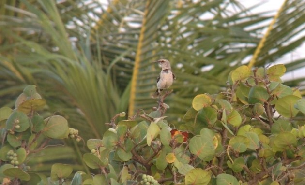 Tropical Mockingbird at Bucuti & Tara Beach Resorts on 24 June 2014. Digiscoped with an iPhone 5 + Vortex Razor HD 20-60x85 & Phone Skope Adapter. iPhone photo by Tim Schreckengost.