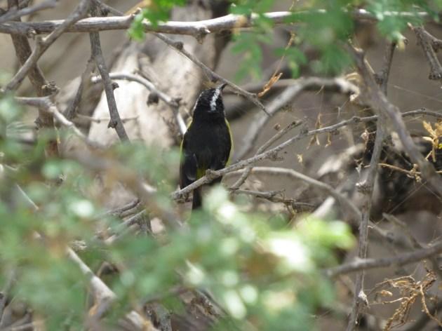 Bananaquit at Bubali Bird Sanctuary, Aruba on 24 June 2014. Photo by Tim Schreckengost.