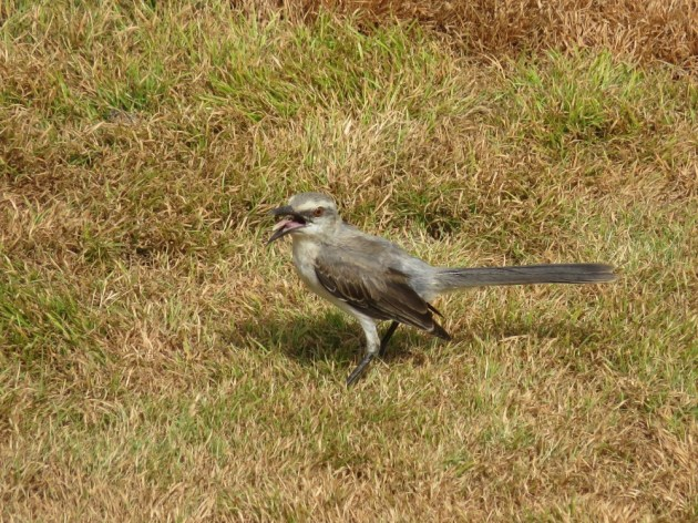 Tropical Mockingbird at Bucuti & Tara Beach Resorts, Aruba on 26 June 2014. Photo by Tim Schreckengost.