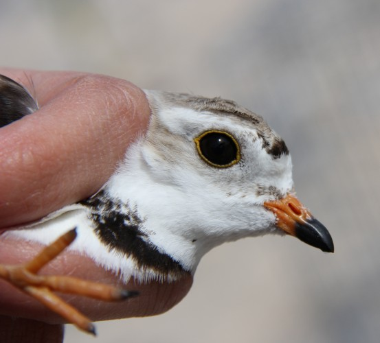 Female Great Lakes Piping Plover (Photo by Jordan Rutter)